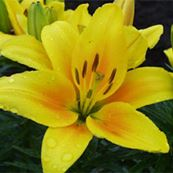 Asiatic Hybrid Lily Pisa
